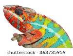 Panther Chameleon   Furcifer...