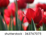 Red Tulip Close Up.