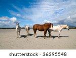 Connemara Pony And Irish...
