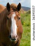 Irish Draught Horse On The...