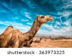 Camel At Pushkar Mela    Famou...