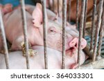 The Farm Pigs In Thailand