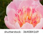 close up of pink peony flower | Shutterstock . vector #364084169
