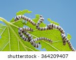 Close Up Silkworms Eating...