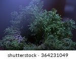 Selaginella Willdenowii In The...