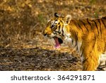 tiger in a national park in... | Shutterstock . vector #364291871
