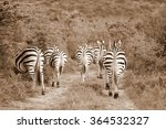 a herd   dazzle of burchells... | Shutterstock . vector #364532327