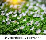 White Anemone Flowers. Gentle...