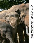Elephant bull (elephas maximus) with two females - stock photo