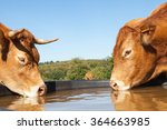 Two Thirsty Limousin Beef Cows...