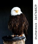 Small photo of american eagle