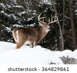White Tailed Deer Buck In Winter