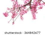 Wild Himalayan Cherry On Tree...