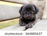 The Black Pug Dog Lying On...