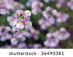 Soft abstract image of tiny nemesia flowers.  Extremely shallow dof with focus limited to a single blossom. - stock photo