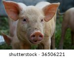 Close Up Of Little Pig In A...