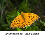 Small photo of A close up of the butterfly (Brentis) on grass.