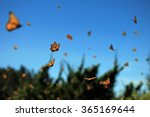 Millions Of Monarch Butterfly...