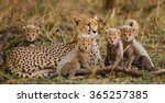 mother cheetah and her cubs in...   Shutterstock . vector #365257385
