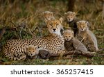 Mother cheetah and her cubs in...