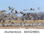 Flock Of Sandhill Cranes In Th...