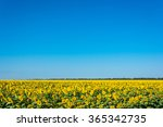 Large Field Of Sunflowers In...