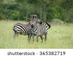 Zebras  Lake Mburo National...
