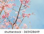 soft focus cherry blossom or... | Shutterstock . vector #365428649
