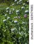 poppy pods   Shutterstock . vector #365474081