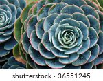 "Nature background of succulent echeveria rosettes with raindrops.  Plant commonly known as ""hens and chicks"" - stock photo"