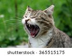 Cat Yawning With A Wide Mouth