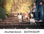 Owner And Three Chihuahuas In...