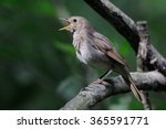 close view of singing thrush... | Shutterstock . vector #365591771