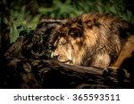 lion | Shutterstock . vector #365593511