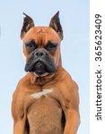 portrait of a beautiful boxer... | Shutterstock . vector #365623409