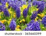 Blue Hyacinths On A Bed Of...