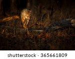 beautiful golden jackal in nice ...   Shutterstock . vector #365661809