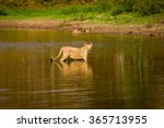 asiatic lion in a national park ... | Shutterstock . vector #365713955