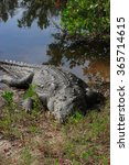 Small photo of American crocodile (Crocodylus acutus) ,Florida, Everglades,USA
