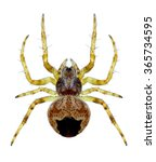 Small photo of Spider Agalenatea redii (female) on a white background