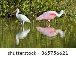the american white ibis ... | Shutterstock . vector #365756621