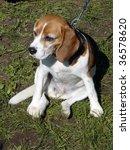 beagle sitting on grass | Shutterstock . vector #36578620