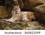 Felis Lynx  Lynx Lynx  Eurasia...