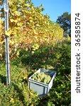 White grape harvest in October - stock photo
