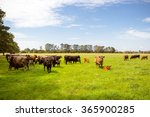 A Herd Of Cows In A Lush Green...