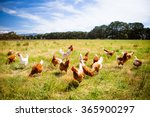 A Flock Of Chickens Roam Freel...