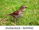 A friendly song thrush in an English garden. - stock photo