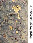 Small photo of bark of platan tree