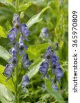 Small photo of Monkshood - Aconitum napellus Tall Blue Flower