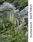 Small photo of Wolfsbane - Aconitum vulparia